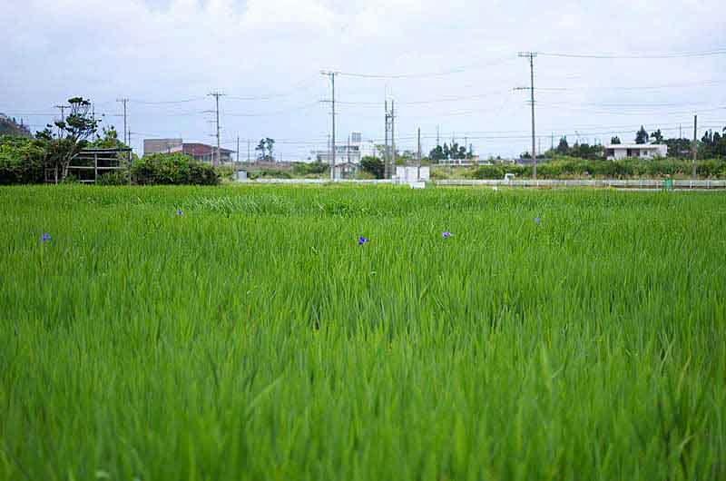 Iris field, blossoms scarce