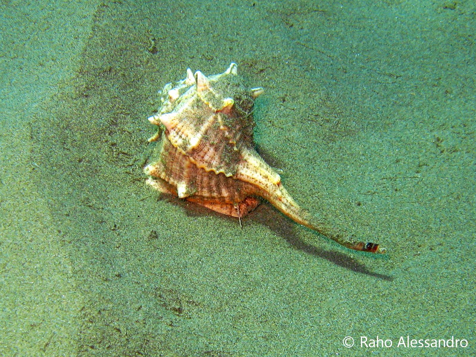 Necton e Plancton Molluschi Murice Spinoso