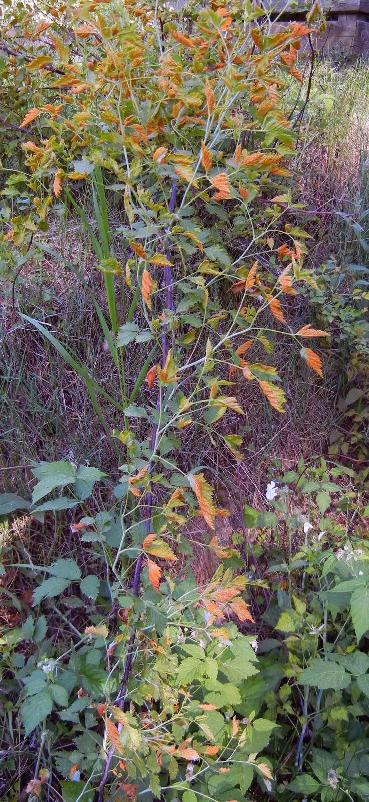 blackberries infected with orange rust fungus