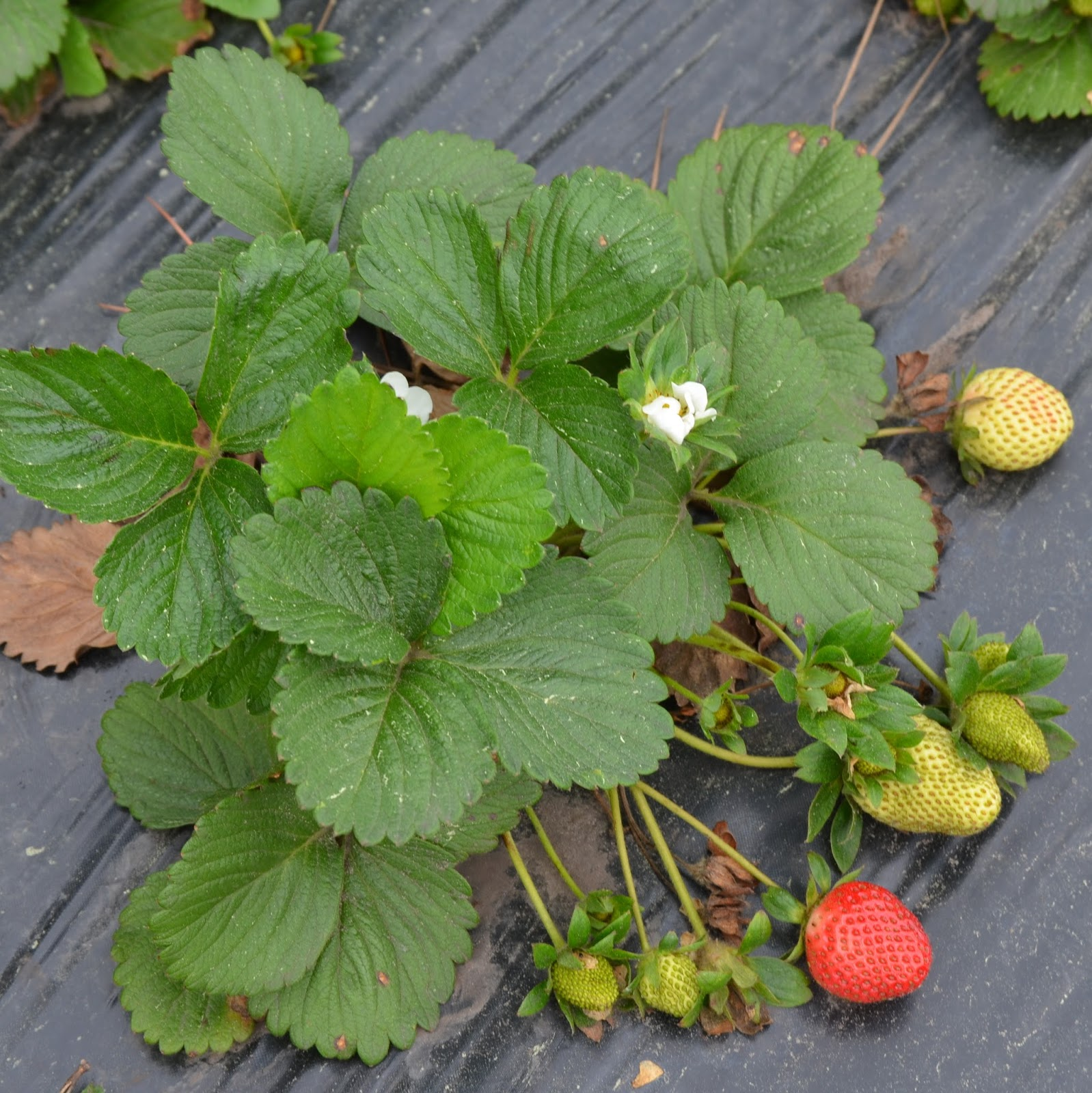 Farmers seed supply co inc strawberries the edible groundcover - Plant strawberries spring ...