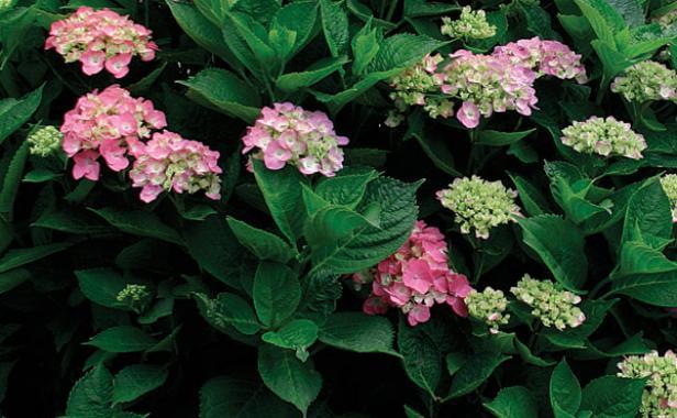 Cottageblog Hydrangeas From Vellum Paper