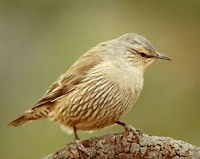 brown%2Btreecreeper.png
