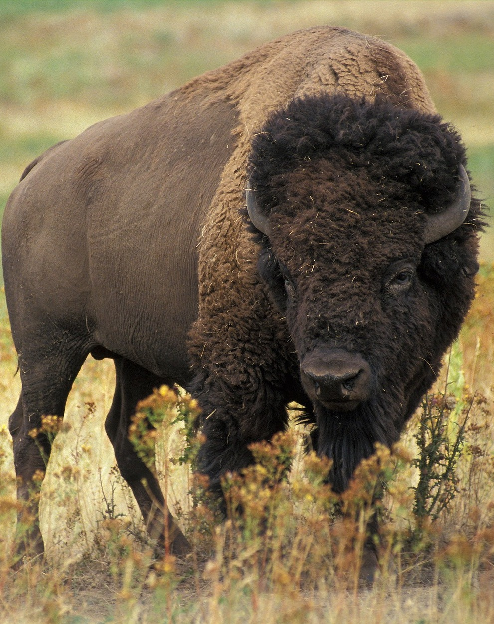 The mighty and fearsome bison.