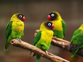 Harga Lovebird Muka Topeng