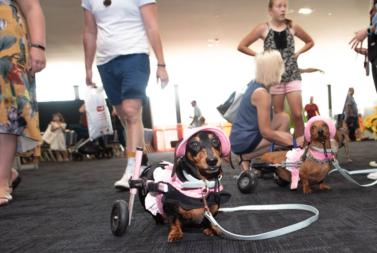 IVDD affected Dachshunds in wheelchairs competed in races at Brisbane Dog Lovers Show