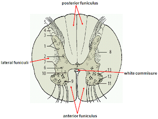 MBBS Medicine (Humanity First): Anatomy of Spinal Cord