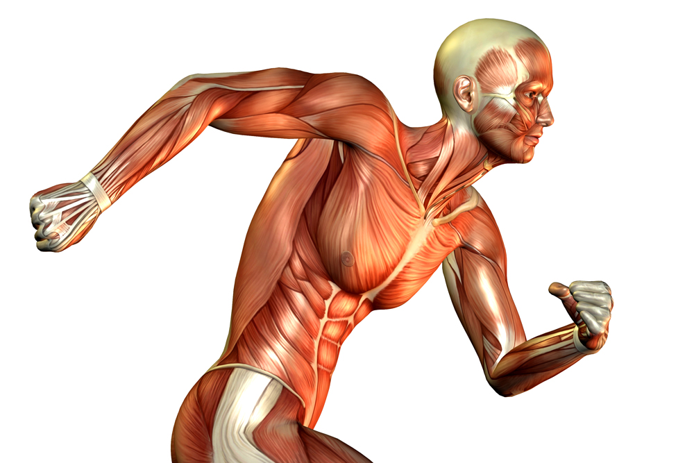 fitness guidline: muscular system facts, functions & diseases, Human body