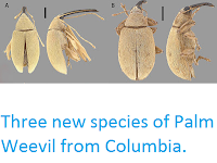 http://sciencythoughts.blogspot.co.uk/2013/06/three-new-species-of-palm-weevil-from.html