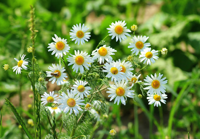 The Best Aromatic Plants for Your Summer Garden - Chamomile