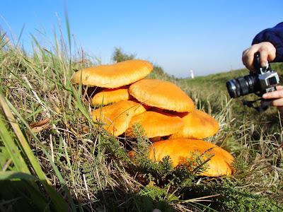 grzyby 2016, grzyby w październiku, grzyby przy drodze, grzyby wypatrzone z samochodu, Gymnopilus junonius łysak wspaniały, Laetiporus sulphureus żółciak siarkowy, twardziak tygrysi  Lentinus tigrinus