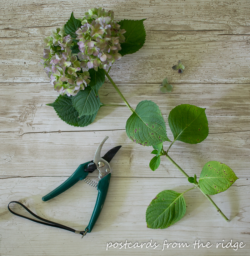 Super simple way to dry hydrangeas. My favorite flower!