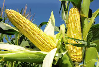 Maize showing current position in India