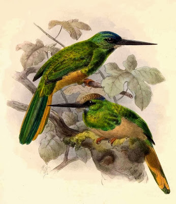 White chinned Jacamar