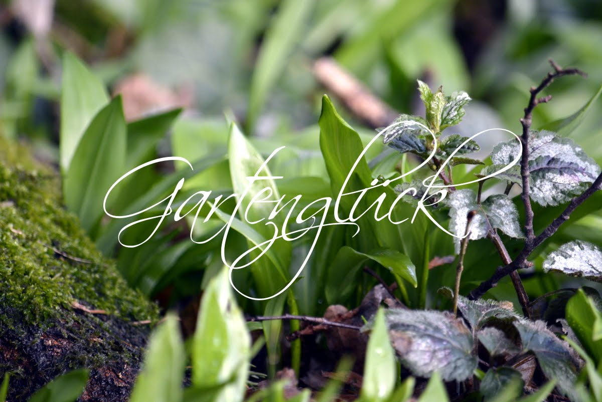 Baerlauch, Gartenblog