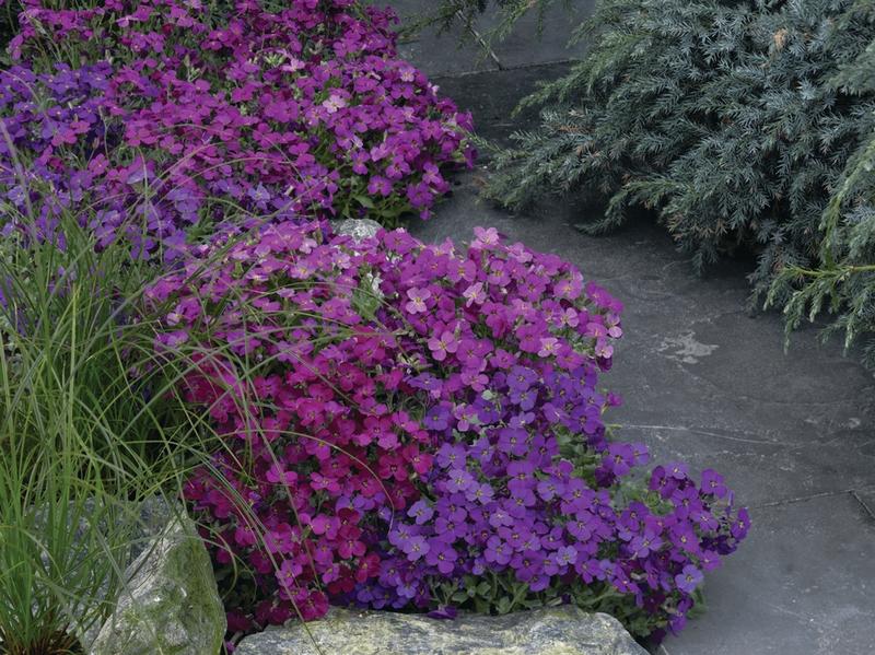 Planta de porte bajo y rastrero  perfecta para colocar en rincones y huecos de los muros del jardín