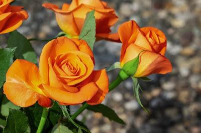 Hoa hồng đẹp nhất thế giới tặng người yêu 2