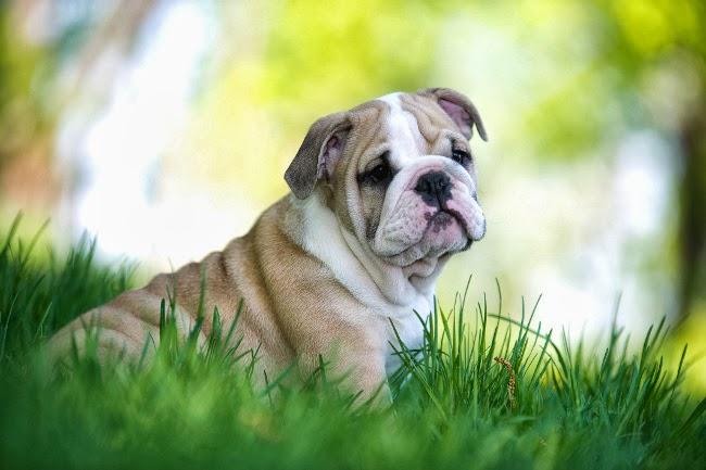Psy rasu Buldog angielski