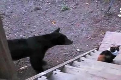 قطة تخيف الدب الاسود