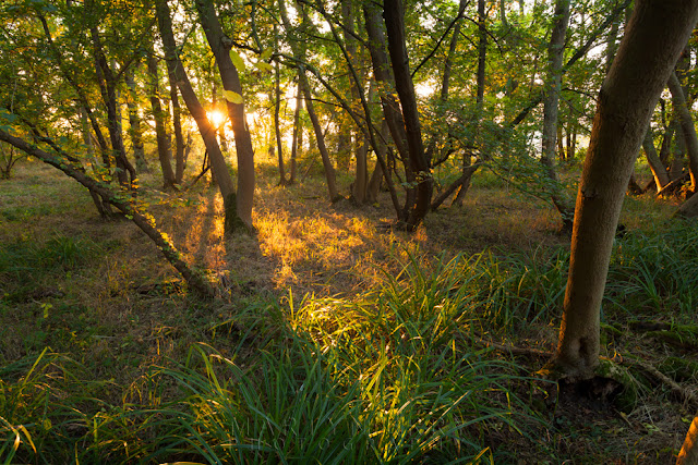 Warm sunset light in the woodland floor in Cambridgeshire