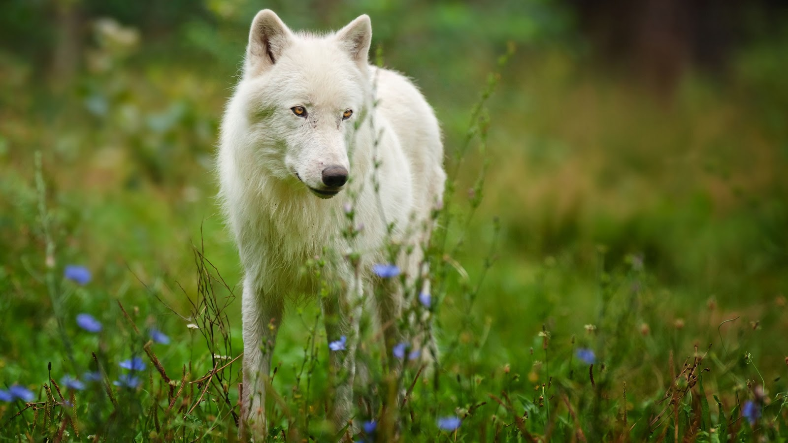 Cute Wallpapers Of All Kind Of Animals Arctic Predator White Wolf