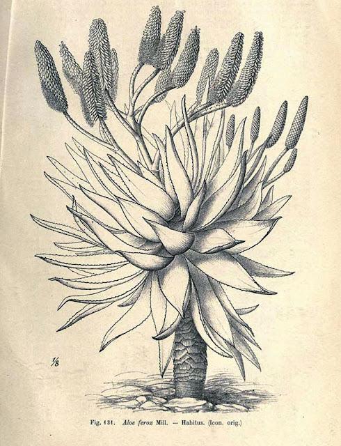Aloes uzbrojony (Aloe ferox) - opis, uprawa, historia, pielęgnacja, nazewnictwo, pochodzenie, stosowanie, rozmnażanie, podlewanie. Jaka ziemia dla aloesa, jak dbać w domu? Jak uprawiać i hodować aloesa uzbrojonego w doniczce? Jak wygląda i jak kwitnie aloes uzbrojony?