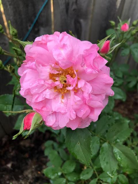 roses, John Davis Rose, garden, gardening, pink roses, Anne Butera, My Giant Strawberry