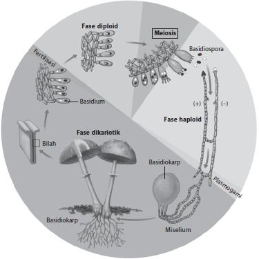 siklus hidup pada jamur divisi Basidiomycota