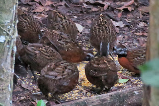 Rufous-breasted Wood-Quail