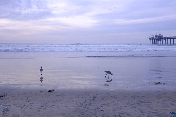 Le Chameau Bleu - Sandpipers sur la plage de la Jolla Californie du Sud USA