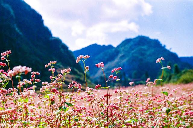 Hoa Tam Giác Mạch – loài hoa đặc trưng của núi rừng phía Bắc.