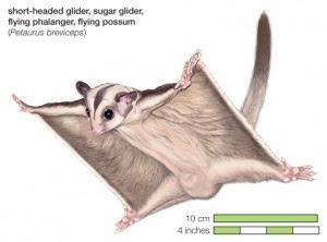 proses kawin Tupai Terbang (Sugar Glider)