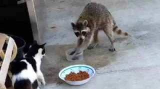 Raccoon prepares to eat cat