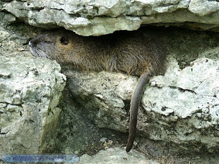 Ragondin - Myocastor coypus