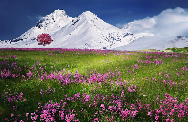 Breathtaking Calm Pink Color Flower Field And Outside From Field  Snow Covered The Mountain HD Wallpaper