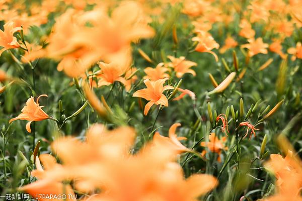 彰化花壇三級古蹟虎山巖(虎山岩)金針花海盛開,免費參觀拍美照