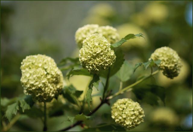 kwiaty kaliny koralowej