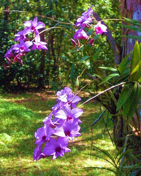 http://commons.wikimedia.org/wiki/File:Cooktown_orchids.jpg