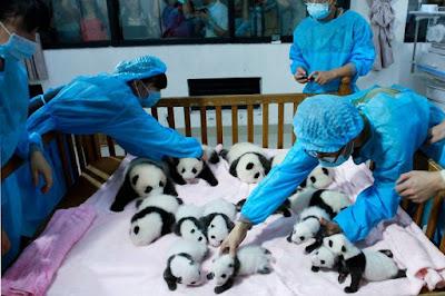 Fotos de pandas en cuna