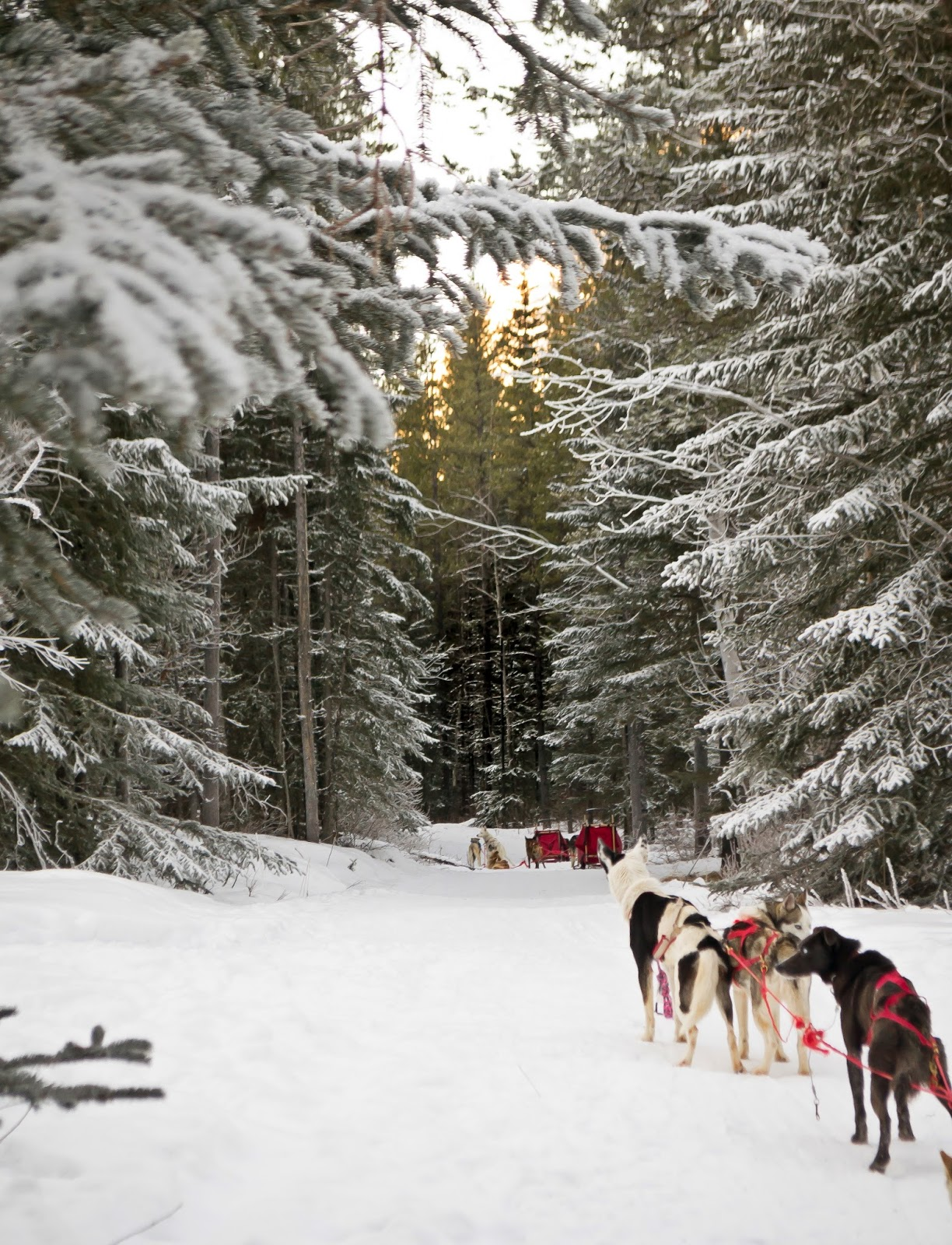 Dogsledding in Kananaskis near Calgary in winter