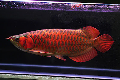 ikan arwana hias keren bagus banget