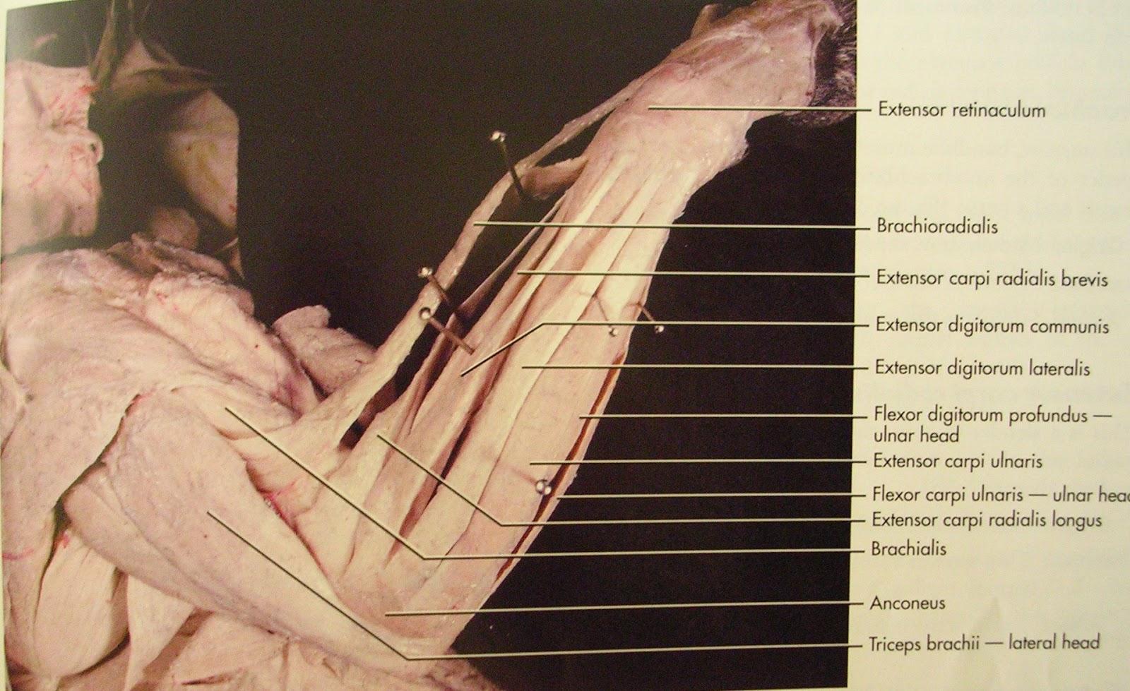 triceps brachii diagram light dimmer wiring accademia taiji tecnica piccola effetto grande