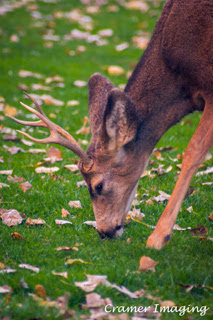 Cramer Imaging's professional quality nature photograph of a male mule deer stag eating grass at Zion's National Park, Utah
