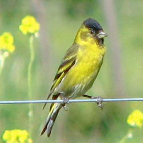 Black-chinned siskin - Spinus barbatus