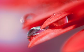 Wallpaper: Drops on red petals