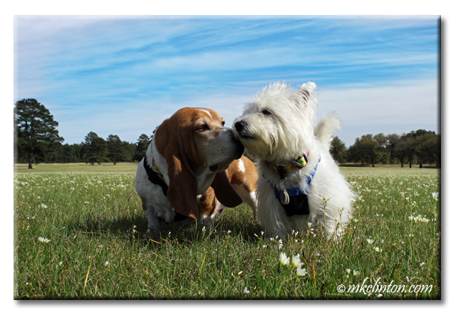 Bentley Basset Hound whispers to Pierre Westie