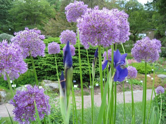 På utflukt til Gøteborgs botaniske Hage - Iris og Allium i spennende sameksistens