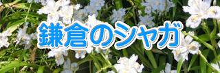 鎌倉のシャガ