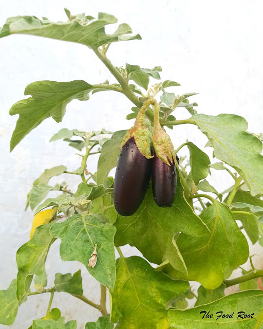 Japanese aubergine are long and narrow with edible seeds. They are usually 4-5 inches long and 1-2 inches wide.