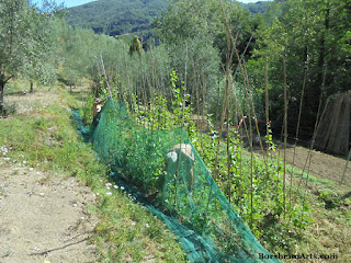 Italian farmers pick the beans of Sorana ; fagioli di Sorana