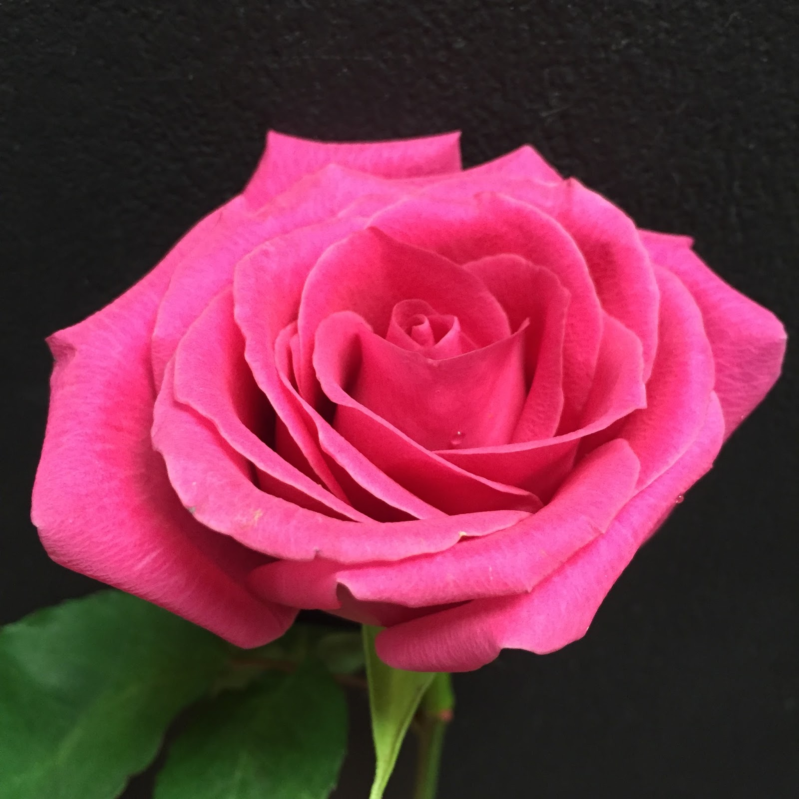 Hot Pink Rose At Stein Your Florist Co